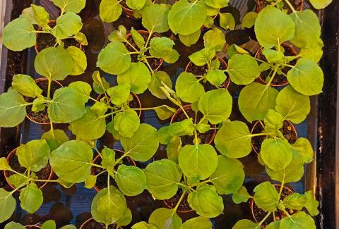 Piante di Nicotiana benthamiana nella serra a contenimento del Laboratorio Biotecnologie ENEA