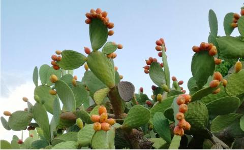 Opuntia ficus-indica (fico d'india)