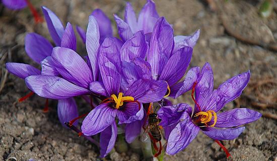 saffron-flower-www.maxpixel.net_.jpg